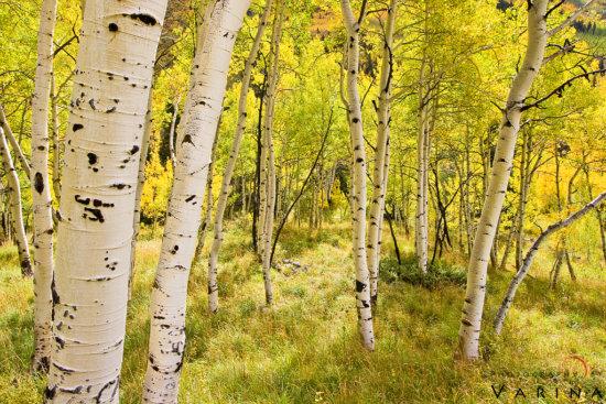 Aspen Glen, Snowmass Wilderness, Colorado by Varina Patel