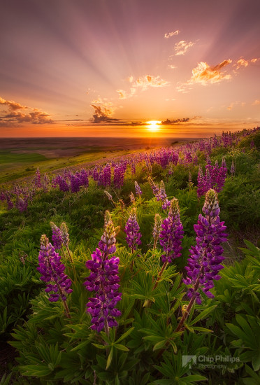 Crepuscular rays and spring wildflowers in the Palouse Region of Washington State.