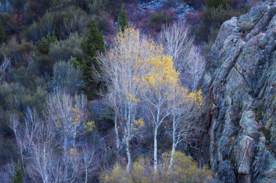 Aspen trees in California's Eastern Sierra. Photo by Sarah Marino.
